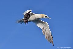 Sula _014 (Rolando CRINITI) Tags: sula uccelli uccello birds ornitologia avifauna evolution costaltrip viareggio natura toscana