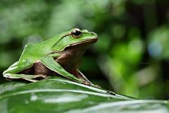 2J4A8099 (ajstone2548) Tags: 12月 樹蛙科 兩棲類 翡翠樹蛙