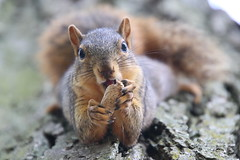 101/365/3753 (September 20, 2018) - Squirrels in Ann Arbor at the University of Michigan on September 20th, 2018 (cseeman) Tags: gobluesquirrels squirrels annarbor michigan animal campus universityofmichigan umsquirrels09202018 summer eating peanut septemberumsquirrel 2018project365coreys yearelevenproject365coreys project365 p365cs092018 356project2018 foxsquirrels easternfoxsquirrels michiganfoxsquirrels universityofmichiganfoxsquirrels