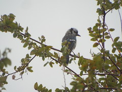 Blue Jay,  Rainy Day, Glenover Park, Allen, Texas (gurdonark) Tags: bird birds wildlife corvid blue jay glendover park allen texas