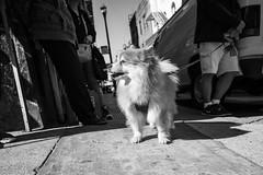 dog's eye view (vhines200) Tags: sanfrancisco 2018 chinatown dog pet