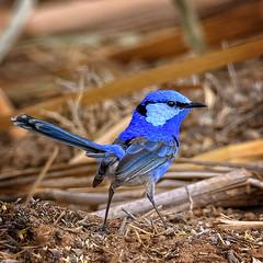 lagoon creek - another splendid little fellow (Fat Burns ☮) Tags: splendidfairywren male malurussplendens bird smallbird australianbird fauna australianfauna wren nikond500 sigma150600mmf563dgoshsmsports lagooncreek barcaldine nature outdoors malewren malebird