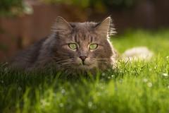 Fynnie watching the grass grow (FocusPocus Photography) Tags: fynn fynnegan katze kater cat chat gato tier animal haustier pet rasen lawn gras grass nass wet