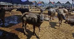INDONESIEN, Sulawesi, Büffel- und Schweinemarkt bei Bolu, INDONESIA, Sulawesi, buffalo and pig market near Bolu/Rantepao, 17689/10707 (roba66-on vacation) Tags: sulawesi urlaub reisen travel explore voyages rundreise visit tourism roba66 asien asia indonesien indonesia insel celebes island île insulaire isla bolu rantepao markt market büffelmarkt buffalomarket schweiemarkt siiere animals tiere kuh stier bull tauro taurus