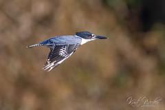 The Speeding Bullet! (ThruKurtsLens.com) Tags: 2018 kurtwecker nature naturephotographer thrukurtslenscom wildlife wildlifephotographer wildlifephotography