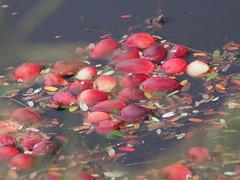 PA060132 (karsheg) Tags: bogs cranberrybogs cranberries harvest nature newjersey parks stateparks brendanbyrnestateforest whitesbog outdoors fall seasons industry reflections