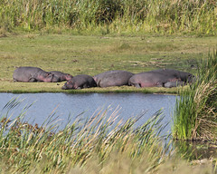 Hippos by pool (RedPlanetClaire) Tags: nationalpark eastafrica tanzania safari african ngorongorocrater worldheritagesite conservationarea wild animals hippo hippos pool water hole hippopotamus