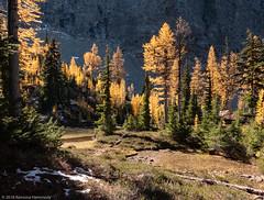 Alpine Larch (Ramona H) Tags: alpinelarch bluelake cascades larixlyalllii northcascades tarnlooptrail hiking larch route20 trees