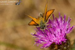 Essex Skipper (Thymelicus lineola) (gcampbellphoto) Tags: thymelicus lineola essex skipper butterfly insect nature macro wexford ireland gcampbellphotocouk animal outdoor