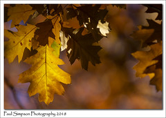 Rustic Leaves (Paul Simpson Photography) Tags: autumn fall nature leaves leaf paulsimpsonphotography imagesof imageof sonya77 england season coloursofnature naturalworld yellow rustic golden autumnal