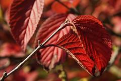 Bladeren in herfstkleuren - Leaves in autumn colors (brigittefotografie) Tags: appeltern herfstkleuren autumncolors najaar fall oktober octobre macro tuinen gardens bomen trees bladeren leaves