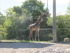Masai Giraffe 3 (D. S. Hałas) Tags: halas hałas canada ontario yorkcounty toronto scarborough torontozoo chordata sarcopterygii mammalia artiodactyla cetartiodactyla giraffidae giraffacamelopardalis giraffacamelopardalistippelskirchii masaigiraffe giraffe
