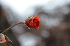 """Замерзшая роза не чувствует холод, В игольчатых """"звездах""""-снежинках красуясь... Когда-то была в эпицентре всех судеб И жизненный путь ей казался так долог! (Angelok-Happy) Tags: осень снег природа роза сад снежинкиnature autumn rose snowflakes"""