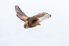 falco Tinniculus (simonealbini) Tags: bird uccelli avifauna fly sky free animals open canoneos70d canon100400l