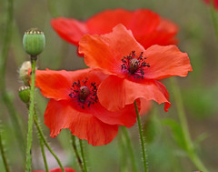 Poppies (eric robb niven) Tags: ericrobbniven poppies flowers cycling dundee