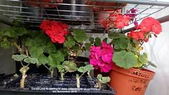 Geraniums flowering in mini-greenhouse on balcony 5th November 2018 (D@viD_2.011) Tags: geraniums flowering minigreenhouse balcony 5th november 2018