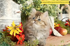 Cute Kitten Pictures (dollfacepersiankittens.com) Tags: persian kittens for sale teacup cat cutekittenpictures cutecatpictures catsofinstagram catstagram catsoftheworld catsofgoogle bestcatpictures best cats dollfacepersians persians