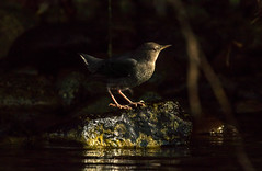 "female dipper came up shortly after to another rock close by, same sunbeam. (island deborah- New Book ""Song of the Sparrow"" vig) Tags: red fantastic nature"