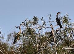 09-22-18-0035871 (Lake Worth) Tags: animal animals bird birds birdwatcher everglades southflorida feathers florida nature outdoor outdoors waterbirds wetlands wildlife wings