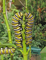 the chomping (Vicki's Nature) Tags: monarch caterpillars two three symmetrical eating milkweed stem vertical yard georgia green vickisnature canon s5 9758