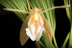 Coelogyne speciosa fma. alba 'Mendenhall' CHM/AOS (Blume) Lindl., Gen. Sp. Orchid. Pl.: 39 (1833). (sunoochi) Tags: 植物 ラン 蘭 plantmorphology green botany plants species orchid orchids orquideas anggrek orchidspecies orchidlover nature flowers
