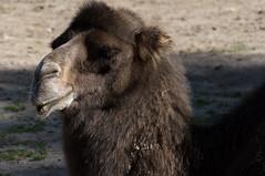 Kameel - Camel (Den Batter) Tags: nikon d7200 zooparc overloon kameel camel camelusferus