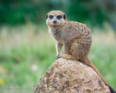 Duty Rock (JKmedia) Tags: meerkat boultonphotography chesterzoo 2018