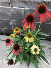 c2018 Sept 28, Orange, Red, Yellow Coneflowers IPhoneography 10 (King Kong 911) Tags: coneflowers hibiscus asters purslane plants growing green petals blooming