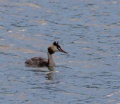 09 10 2018 (cathyk31) Tags: oiseau grèbehuppé greatcrestedgrebe podicepscristatus podicipédidés podicipédiformes bird