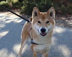 Kenji (Webfoot5) Tags: dog dogs dogsonwalks dogzonwalkz shibainu