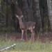 239 Deer