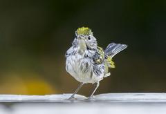 Chestnut-sided Warbler (181) (Jerry Ting) Tags: ardenwoodhistoricfarm fremont california ebparksok chestnutsidedwarbler 1stfallfemale 2018bigyear