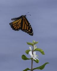 MonarchButterfly_SAF8832 (sara97) Tags: danausplexippus butterfly copyright©2018saraannefinke endangered insect missouri monarch monarchbutterfly nature photobysaraannefinke pollinator saintlouis flight inflight