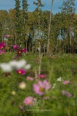Grey heron sitting on a tree stub in a pond (Arno Enzerink) Tags: heron bird pond green park flowers pink purple