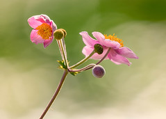 Japanese Anemones (mclcbooks) Tags: flower flowers floral macro japaneseanemones denverbotanicgardens colorado