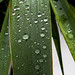 Yucca Leaf - Feuille de yucca
