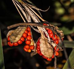 Winter Stach. (Omygodtom) Tags: autumn red berry outside lowkey natural nikkor nature d7100 dof shadow nikon70300mmvrlens vr usgs usg usa rfood macro