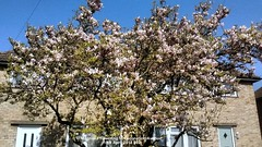 Magnolia flowering in Coronation Avenue 18th April 2018 002 (D@viD_2.011) Tags: magnolia flowering coronation avenue 18th april 2018