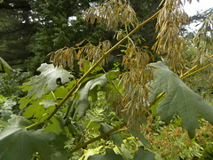 Seeds and Leaves (MadKnits) Tags: green plants growing fall morrisarboretum