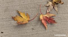 Autumn Leaves (rumimume) Tags: potd rumimume 2017 niagara ontario canada photo canon 80d sigma fall autumn outdoor leaf colour day concrete sidewalk 2018