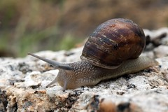 Garden Andrews G9 snail AND_7469.jpg (ImaginingsLifeImages) Tags: 2018 animalia places church nature australia nsw gardenweekend leecerd towngarden garden plants northerntablelands newengland gastrapoda urallashire wildlife flora plant stpeters plantae macro events animals fauna uralla mollusca snail