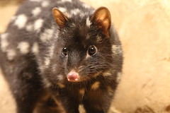 Eastern Quoll (charliejb) Tags: 2018 bristolzoogardens bristol bristolzoo mammal clifton wildlife easternquoll quoll black spotted