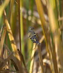 Erlenzeisig (Carduelis spinus)_02 (robert.sendelbach) Tags: erlenzeisig eurasiansiskin carduelisspinus