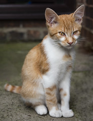 Jambo ginger kitty (RedPlanetClaire) Tags: cat cats kitten feline cute pet furry beautiful sweet ginger white kitty four months