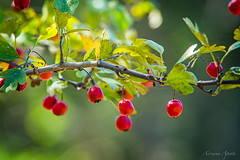 le bacche di ottobre... (adrianaaprati) Tags: berries october autumn colors red green yellow light park blur bokeh leaves