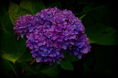 Twilight Hydrangea (brucetopher) Tags: fall autumn plant flora puprle blue flower flowers season seasonal petal petals dark darkness vibrant glowing radiant