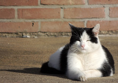 Chilling in the sun (Shahrazad26) Tags: chilling poes kat cat chat katz zwartwit gato blackwhite