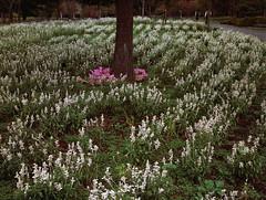 Yuni garden in autumn (threepinner) Tags: mamiya m645 sekor 80mm f28 positive selfdeveloped yunigarden yuni hokkaidou hokkaido northernjapan japan autumn ゆにガーデン 由仁町 北海道 北日本