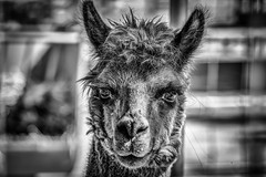 Alpaca, Moorpark, California (paccode) Tags: solemn california portrait urban farm monochrome concern livestock concentrate alpaca blackwhite creepy quiet scary d850 posing moorpark unitedstates us