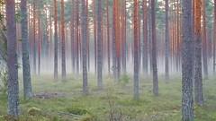 Foggy pine forest (sakarip) Tags: sakarip pineforest pine trees pinussylvestris forest foggy misty finland northern nature männikkö mäntymetsä sumu fall autumn syksy